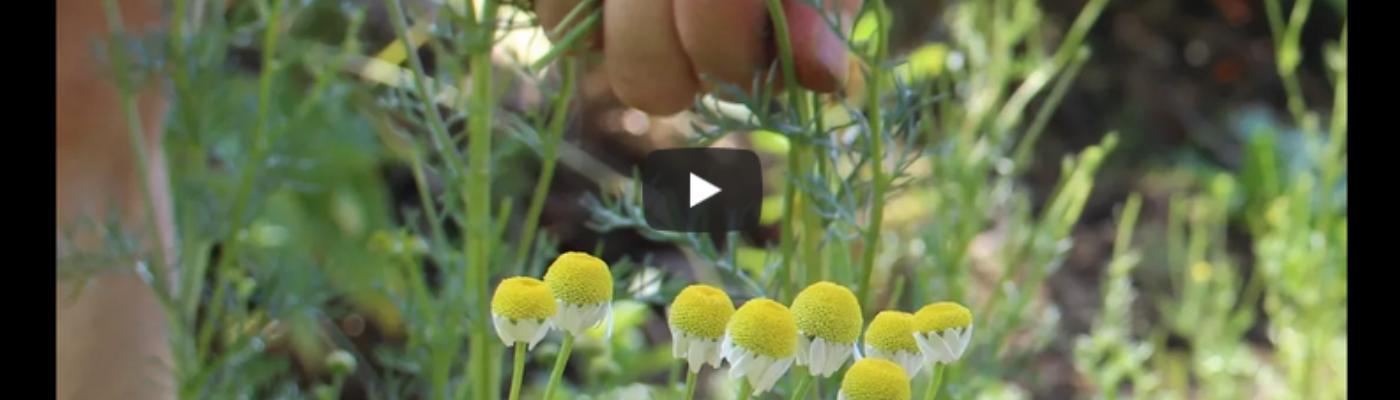 Paysan.ne herboriste: court film de présentation de notre métier