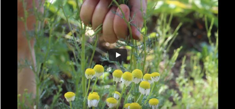 Le métier de paysan-ne herboriste